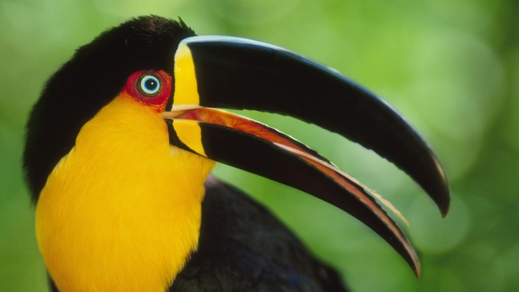 free-toucan-bird-wallpaper-19913-20418-hd-wallpapers