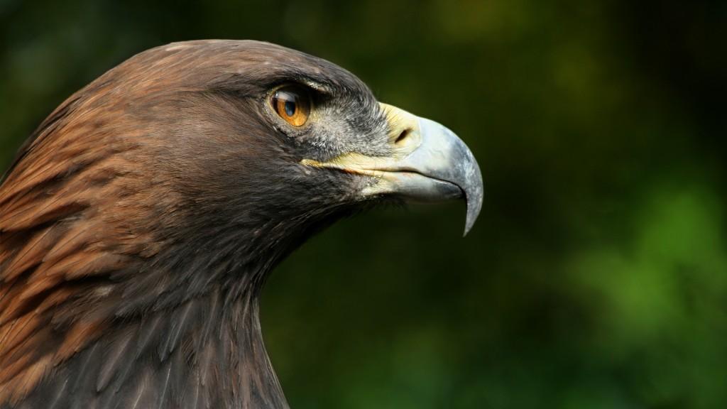golden-eagle-close-up-wallpaper-44519-45646-hd-wallpapers