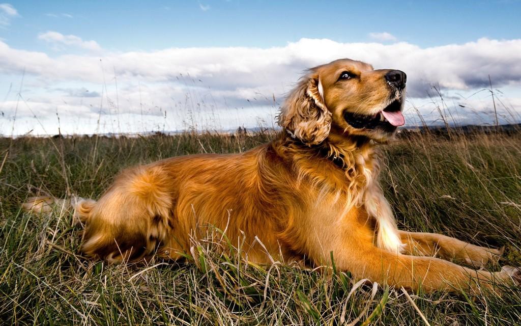golden retriever dog wallpapers