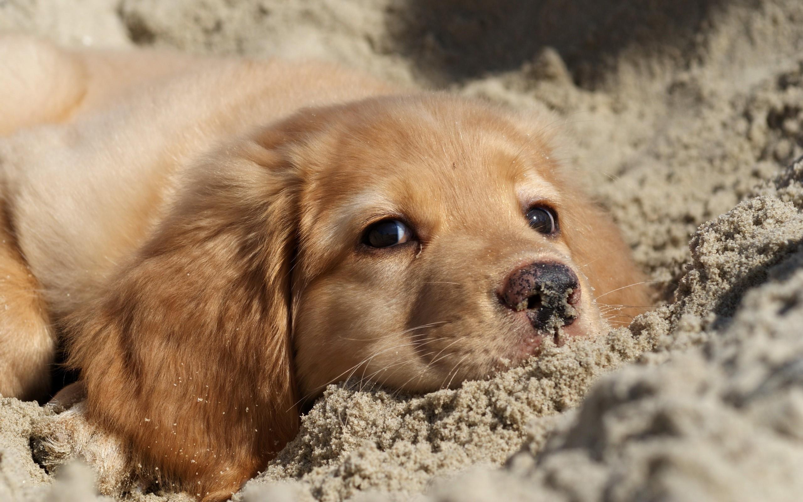 30 Hd Golden Retriever Dog Wallpapers