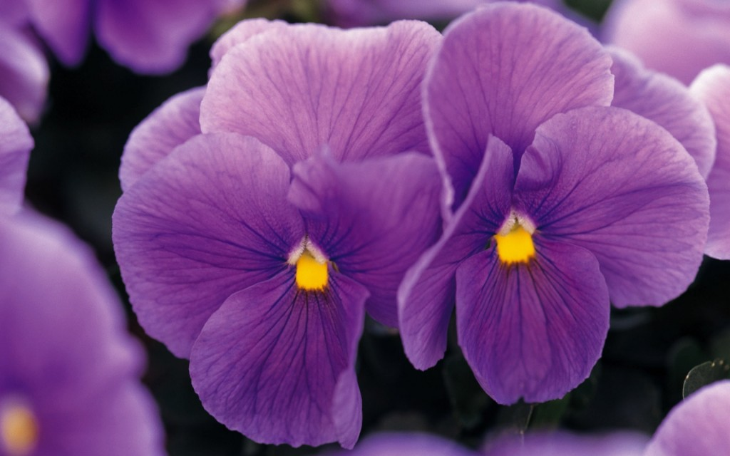 lovely-pansy-flowers-wallpaper-43228-44260-hd-wallpapers