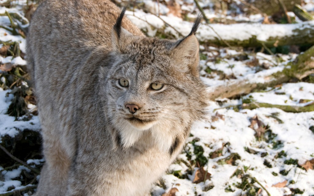lynx-animal-wallpaper-background-49574-51249-hd-wallpapers