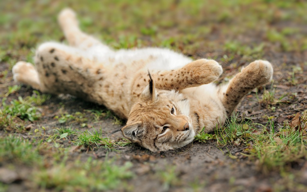 lynx-backgrounds-38473-39351-hd-wallpapers