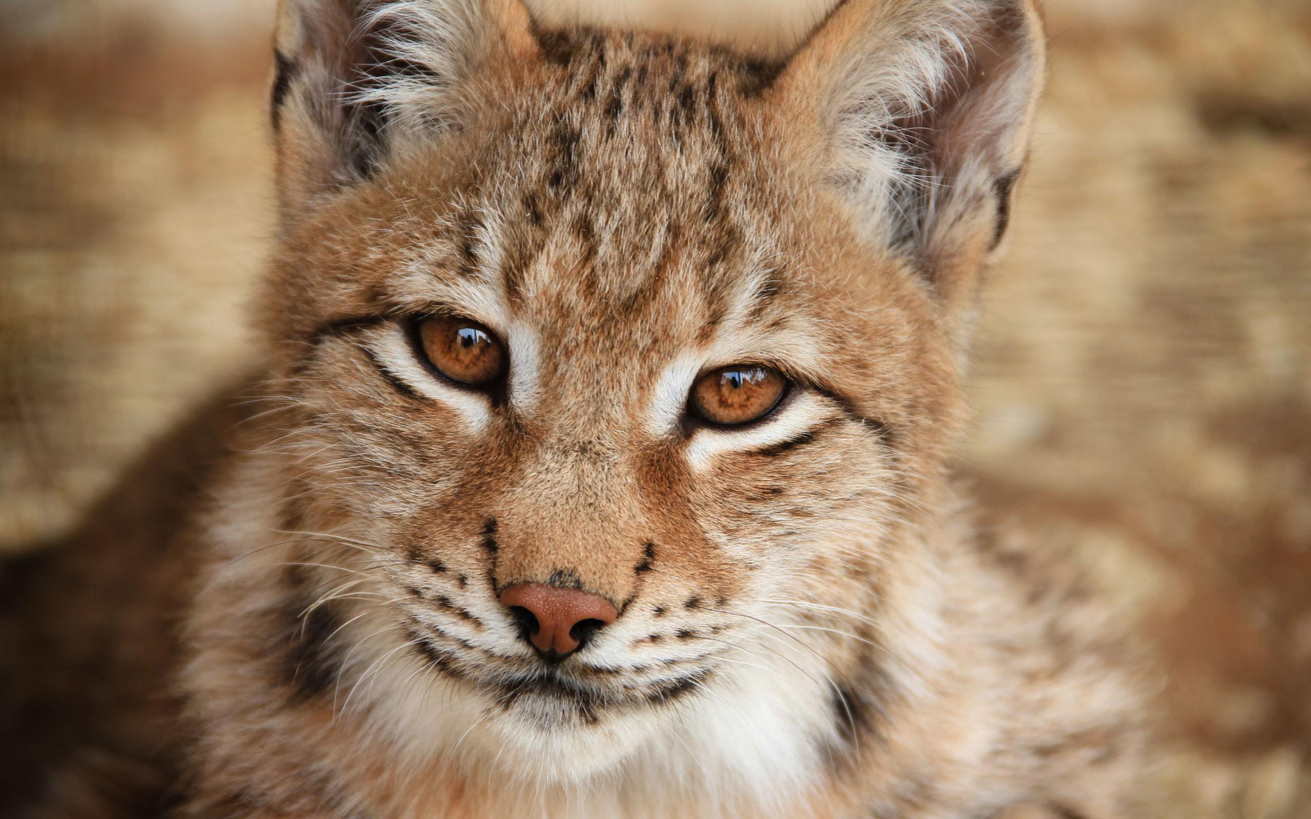 30 Stunning HD Lynx Wallpapers