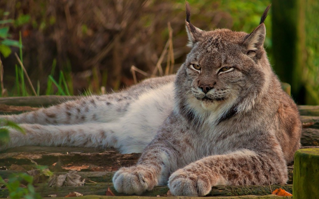 lynx-resting-wallpaper-background-49577-51252-hd-wallpapers