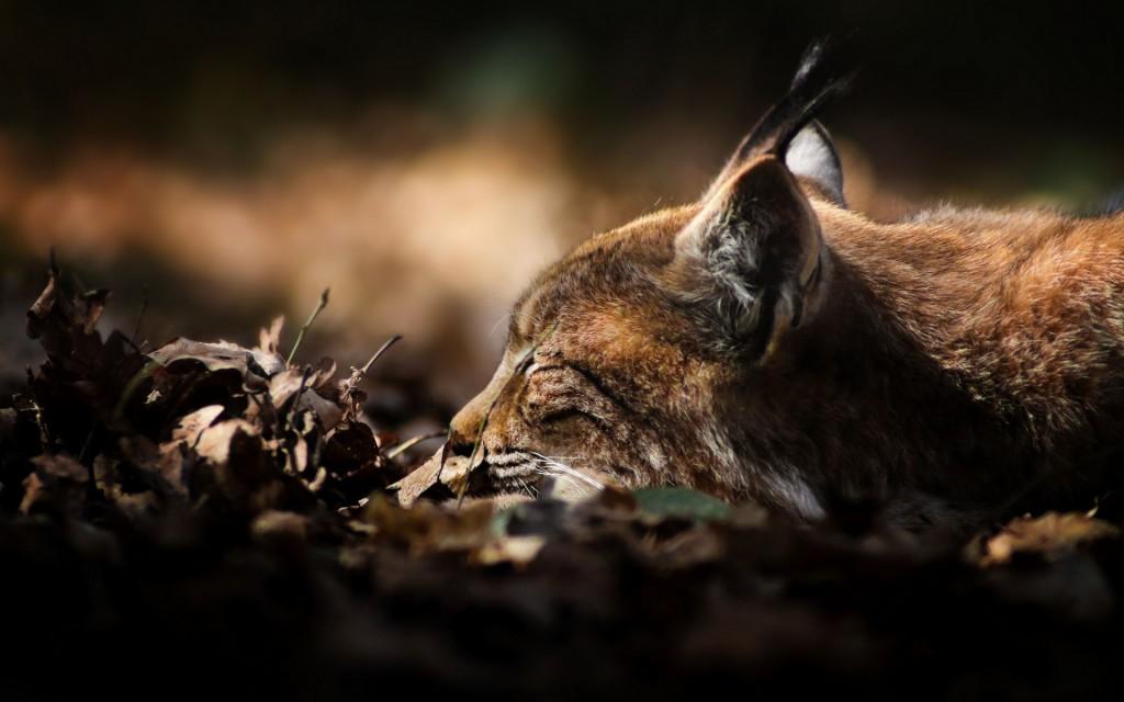 lynx sleeping wallpapers