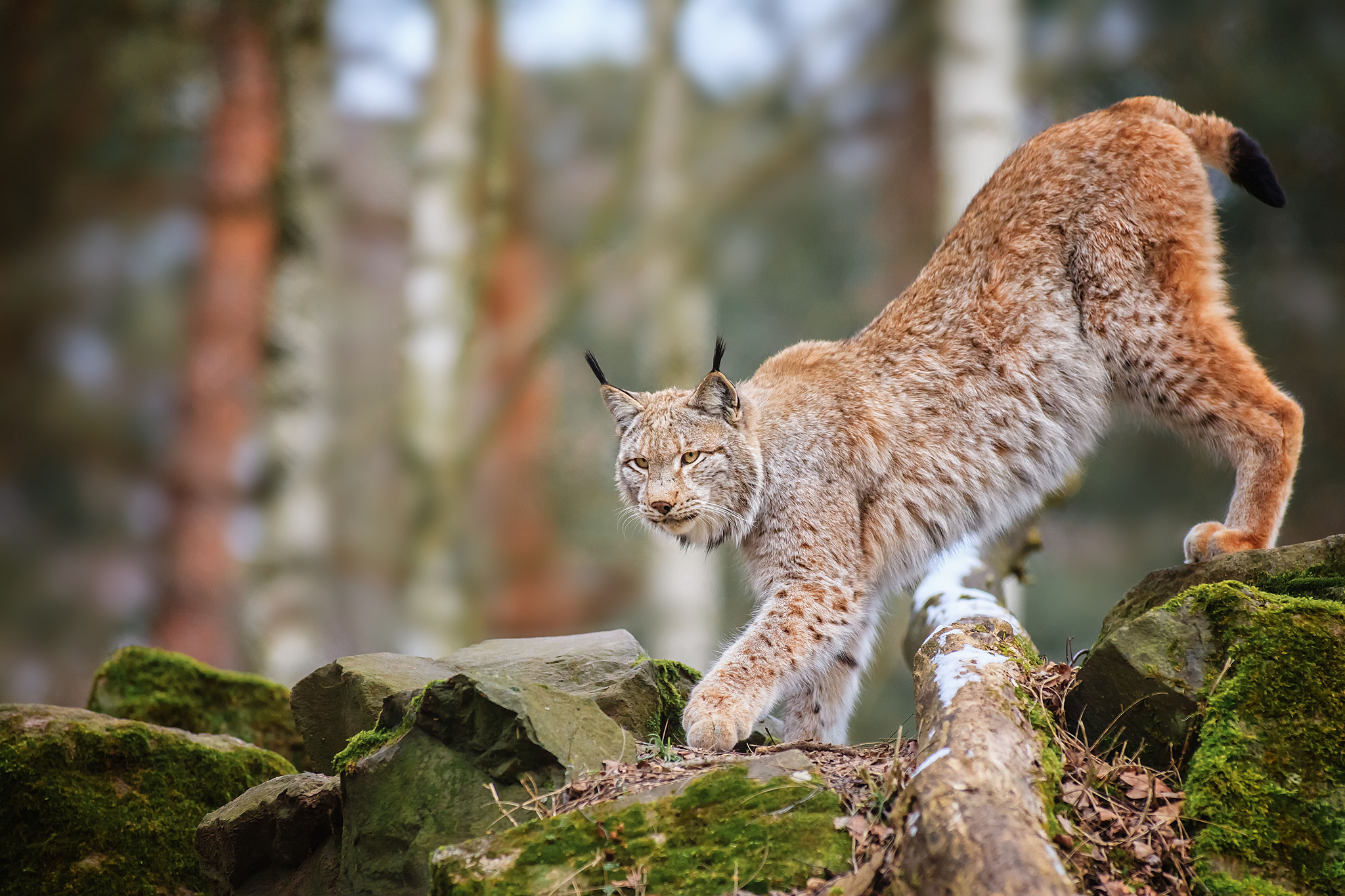 30 Stunning HD Lynx Wallpapers