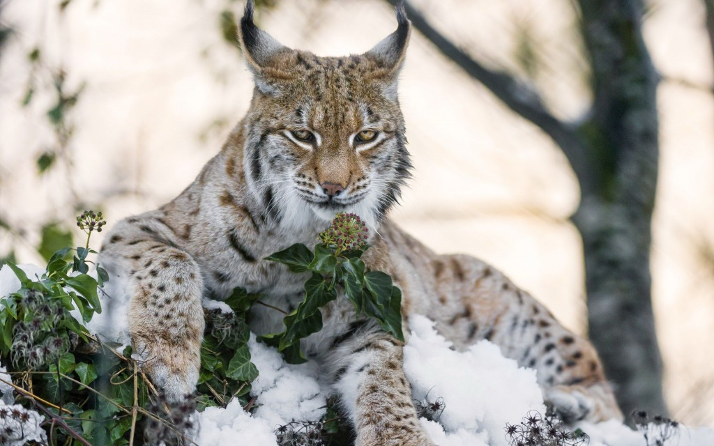 lynx background wallpapers