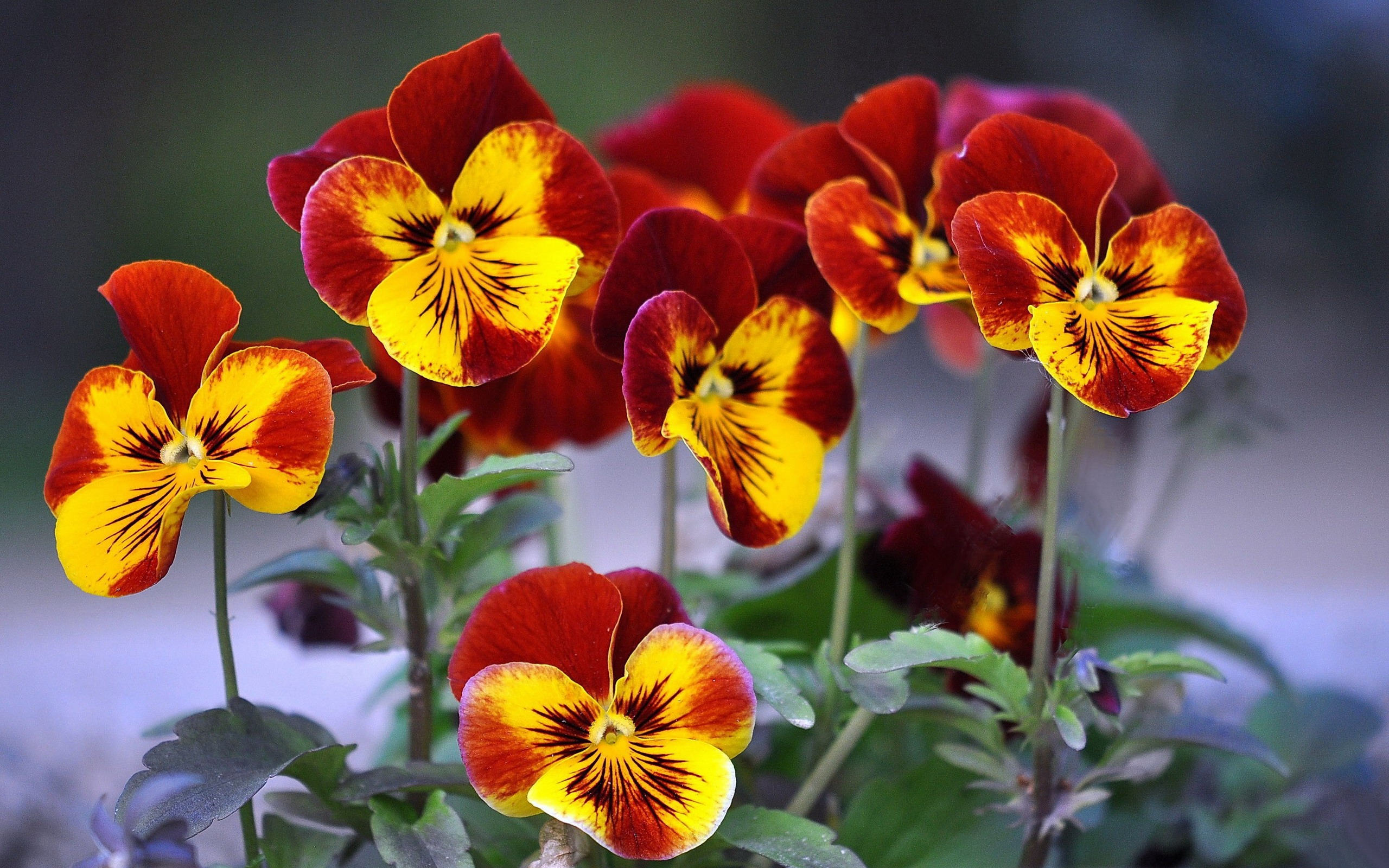 26 Beautiful Hd Pansy Flower Wallpapers