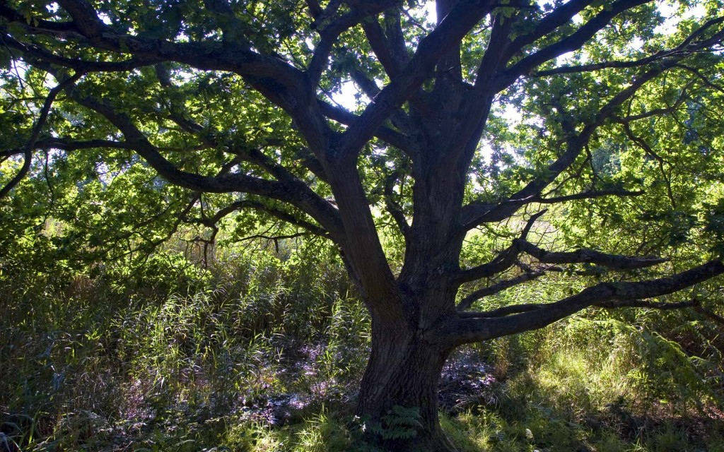 oak-tree-pictures-32975-33730-hd-wallpapers