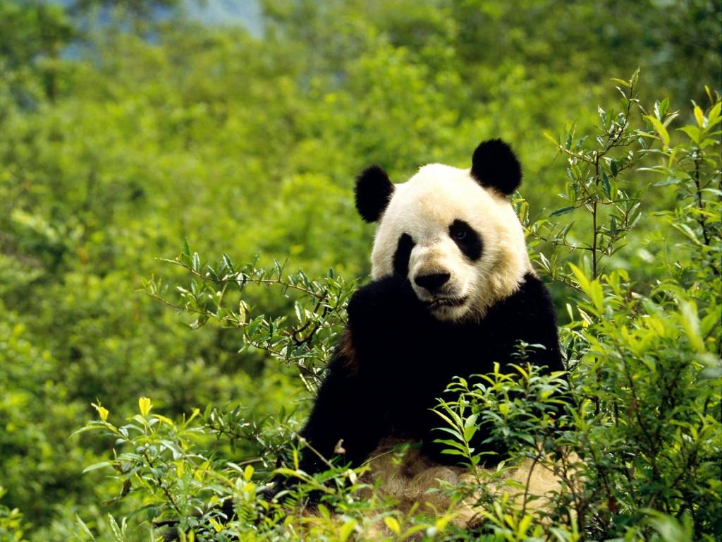 panda computer wallpapers