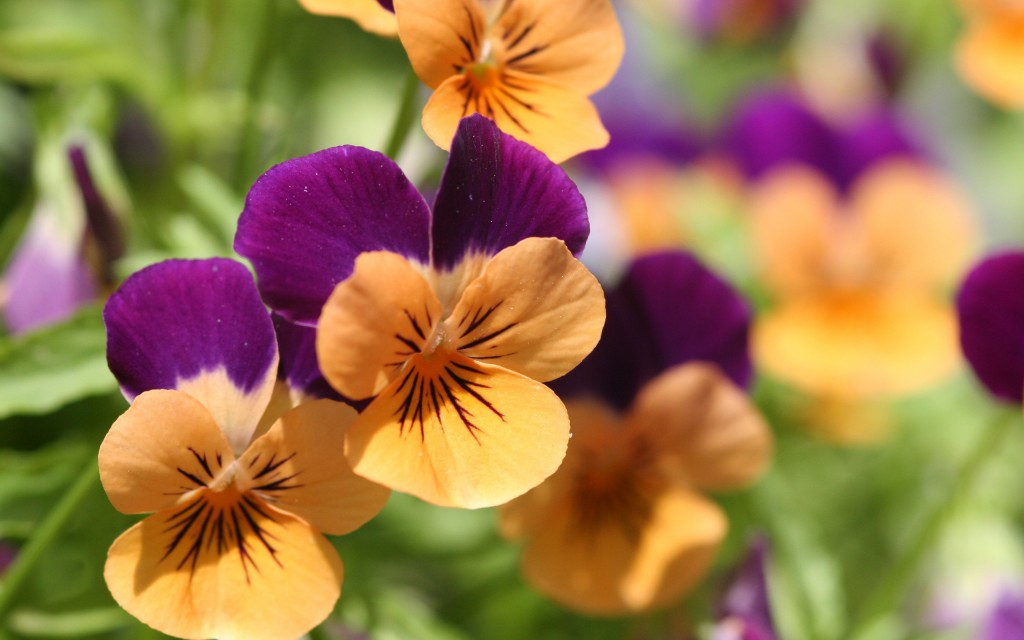 pansies-31064-31796-hd-wallpapers