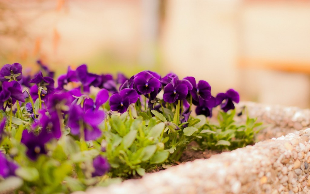 pansies-31065-31797-hd-wallpapers