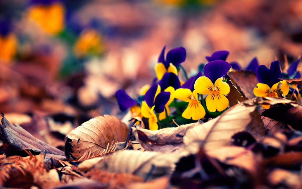 pansies-hd-31061-31793-hd-wallpapers