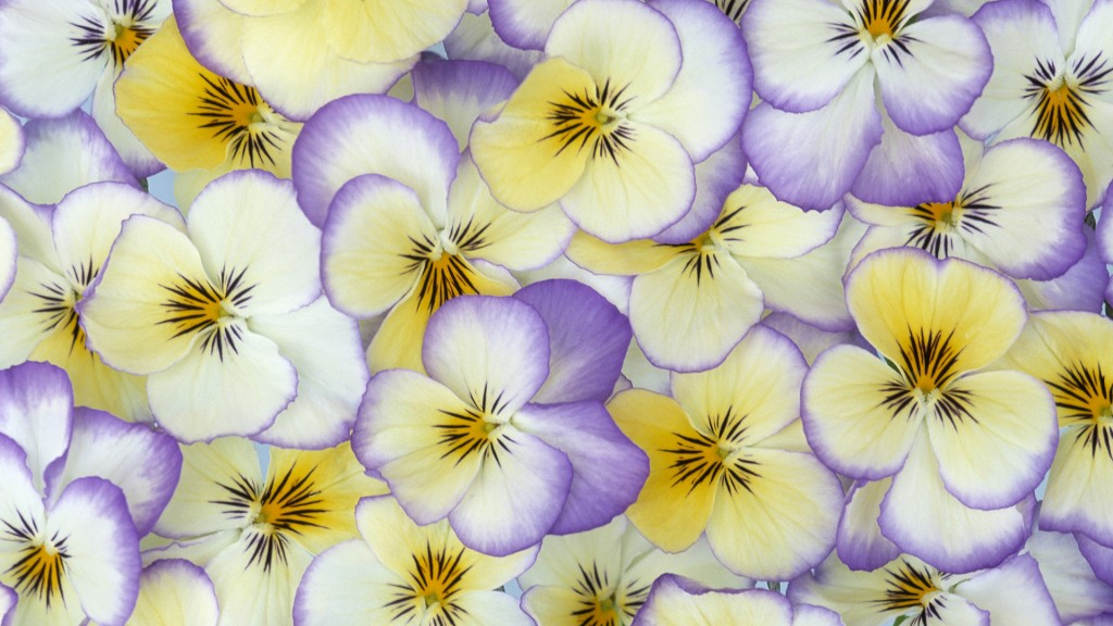 pansy-flower-petals-wallpaper-50004-51690-hd-wallpapers