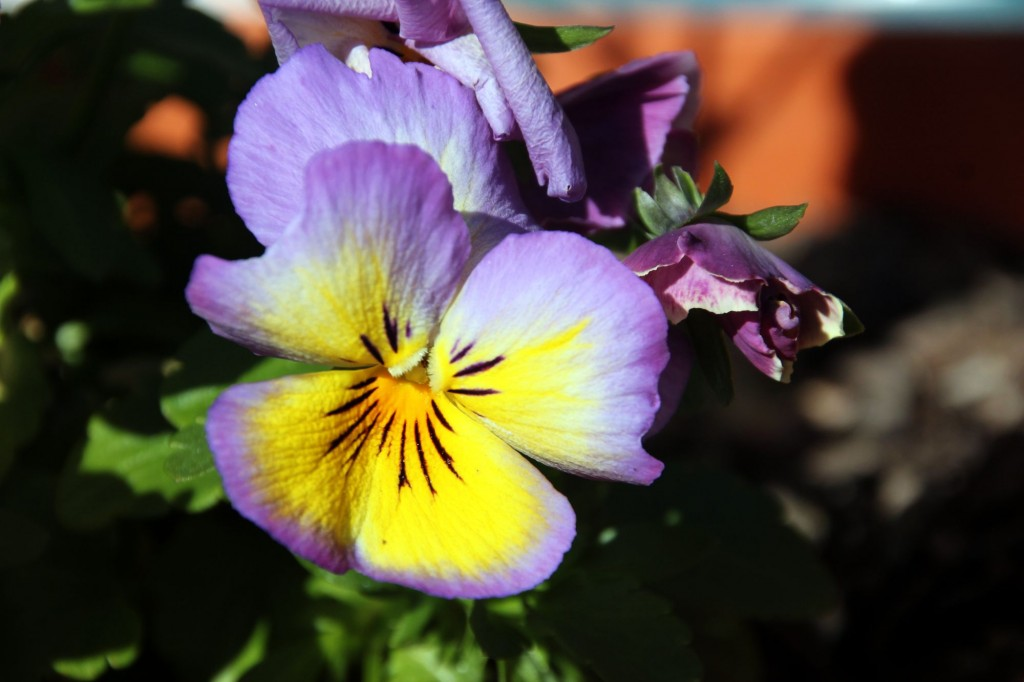 pansy-flower-wallpaper-pictures-50009-51695-hd-wallpapers