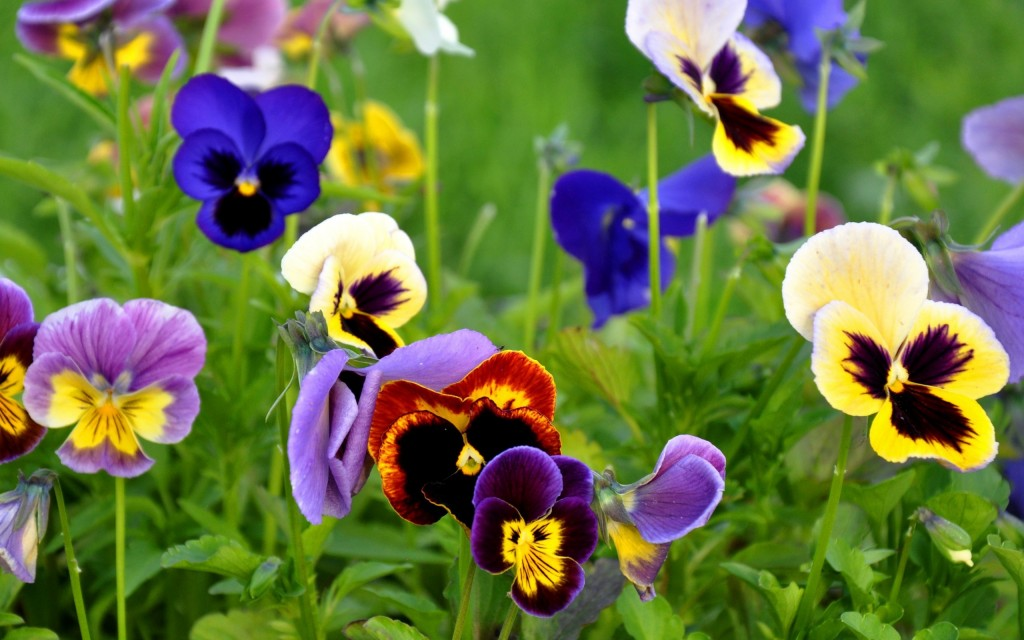 pansy-flowers-nature-wallpaper-50003-51689-hd-wallpapers