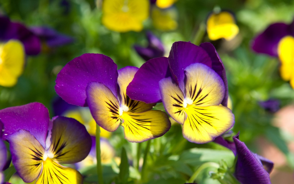 pansy-flowers-wallpaper-43223-44255-hd-wallpapers