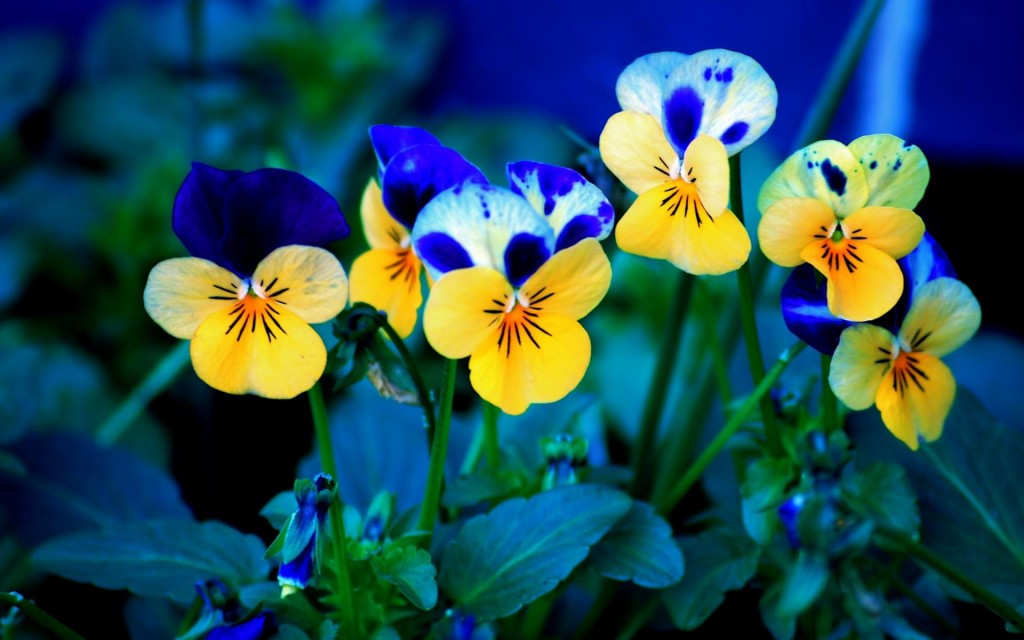 pansy-flowers-wallpaper-50011-51697-hd-wallpapers