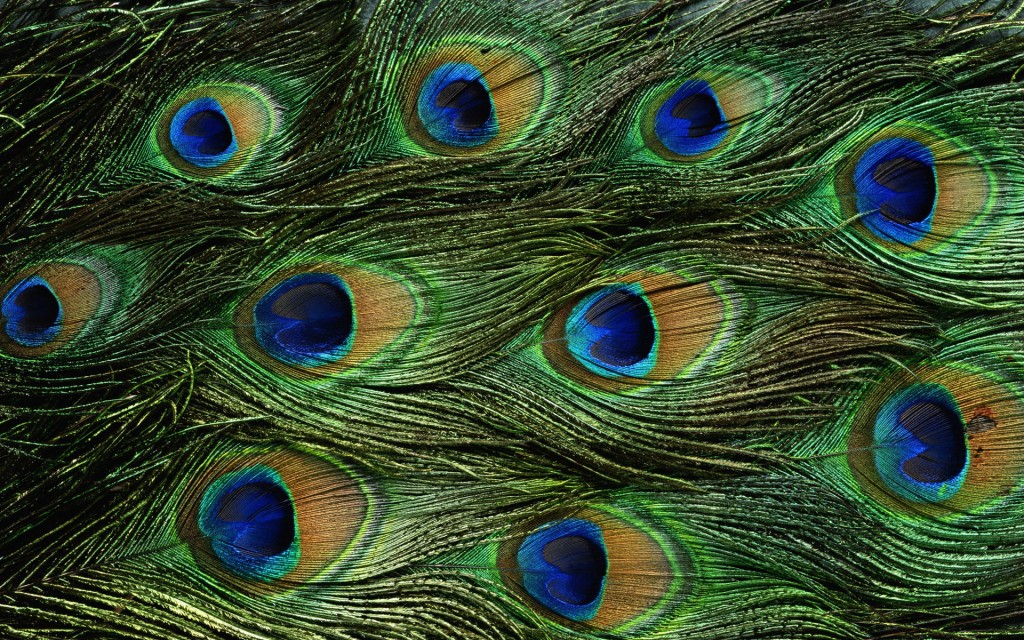 peacock-bird-desktop-wallpaper-50070-51757-hd-wallpapers