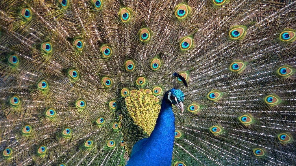 peacock-wallpaper-27303-28020-hd-wallpapers