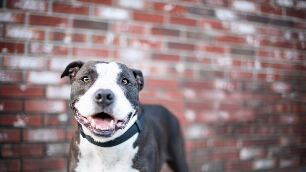 pitbull-dog-look-wallpaper-44134-45240-hd-wallpapers