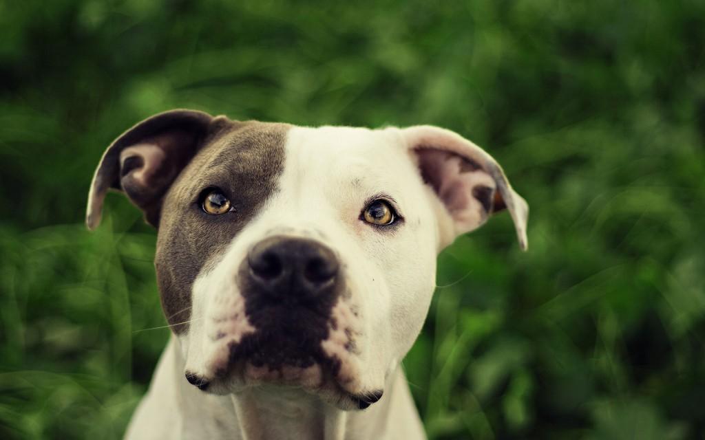 pitbull-dog-wallpaper-background-49482-51156-hd-wallpapers