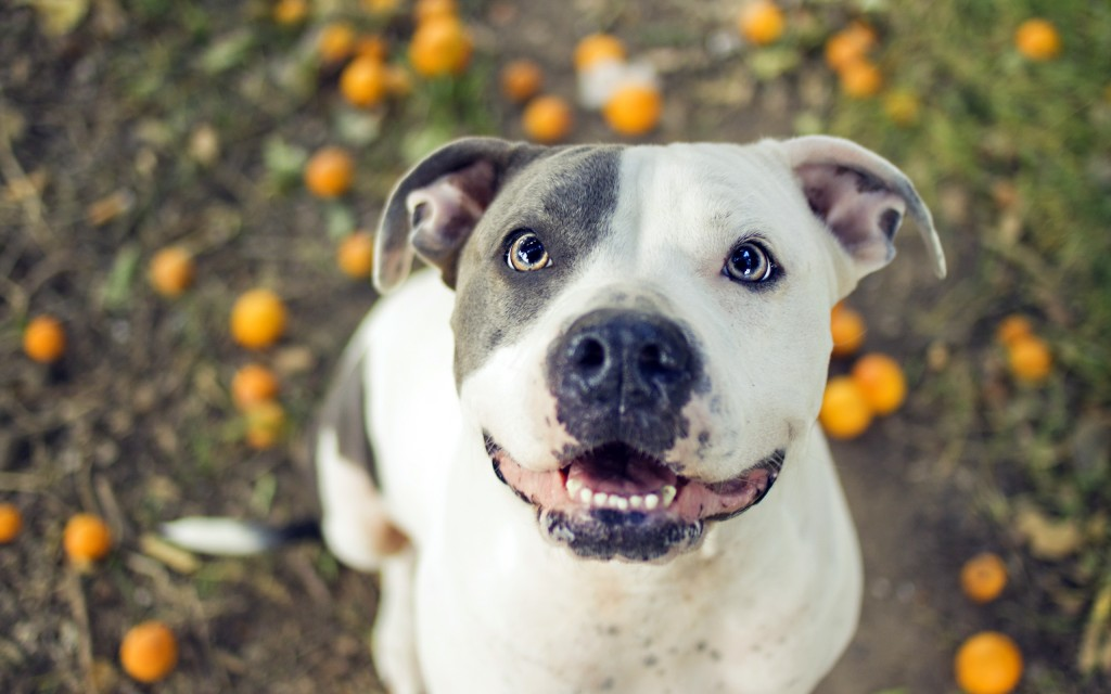 pitbull-dog-widescreen-wallpaper-49478-51152-hd-wallpapers