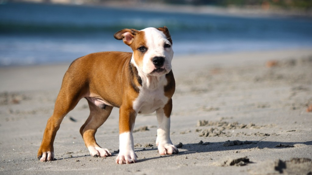 pitbull-puppy-wide-wallpaper-49480-51154-hd-wallpapers