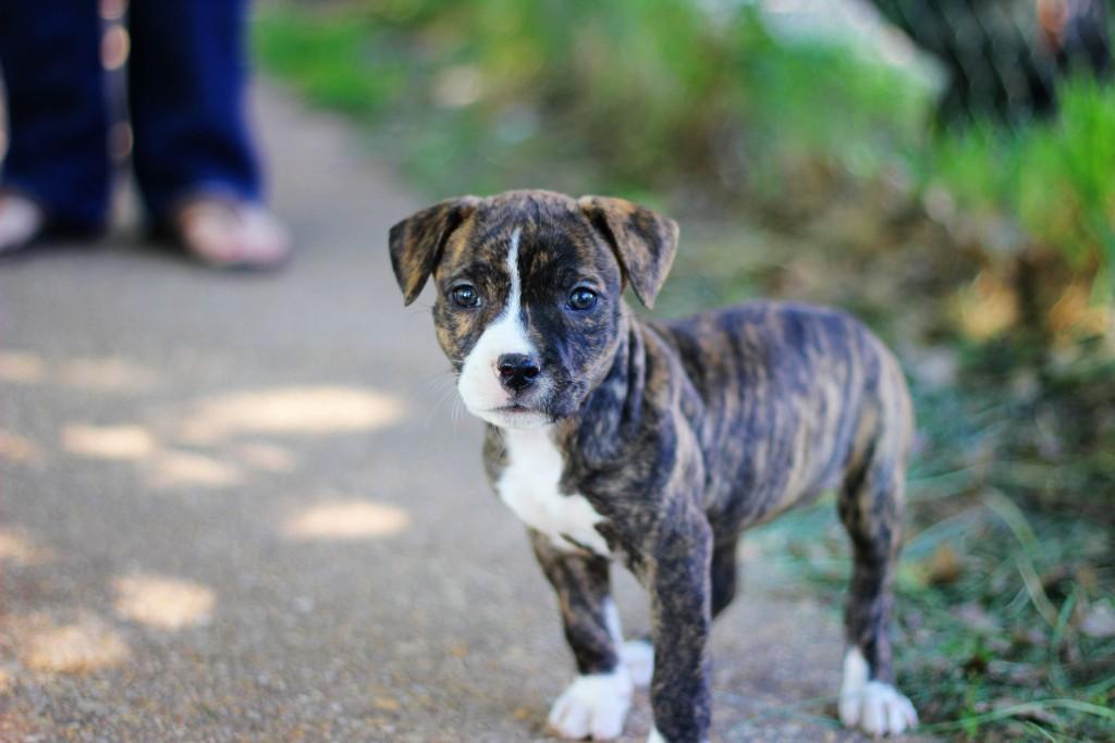 pitbull-puppy-widescreen-wallpaper-49479-51153-hd-wallpapers