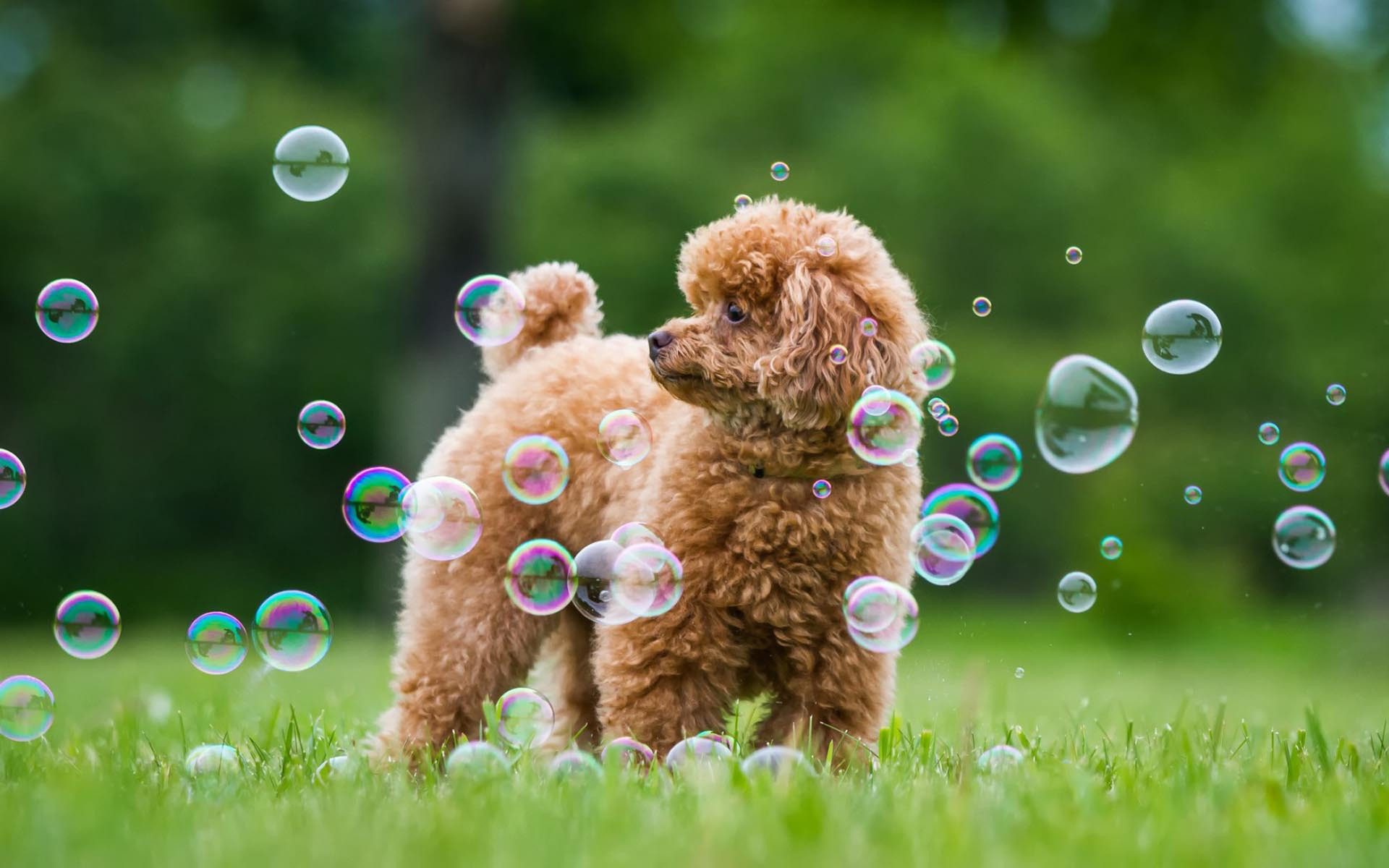 14 Hd Poodle Dog Wallpapers