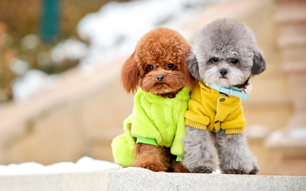 poodle-dogs-wallpaper-pictures-49991-51676-hd-wallpapers