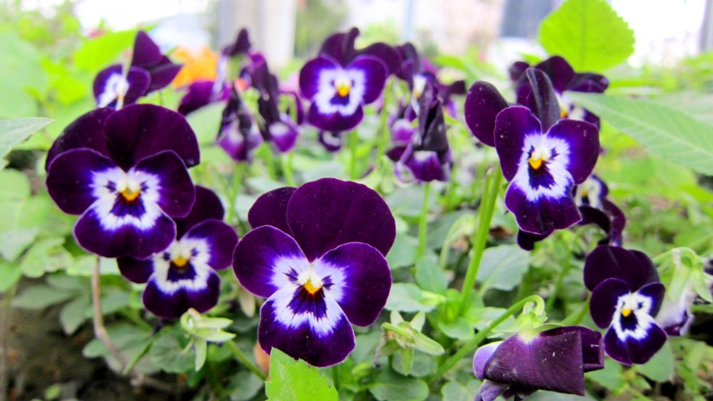 pretty-pansies-wallpaper-31067-31799-hd-wallpapers