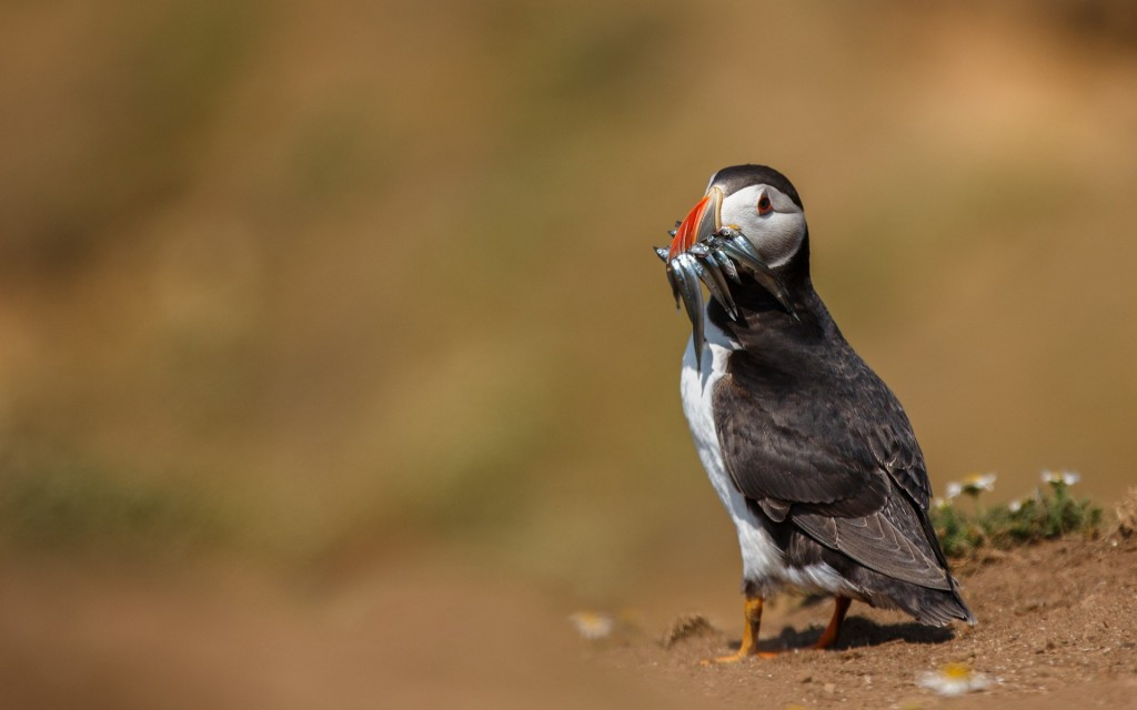 puffin-24802-25474-hd-wallpapers