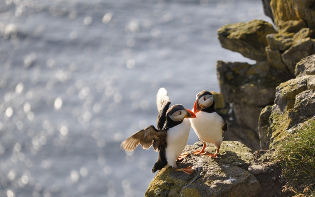 puffin-birds-wide-wallpaper-50121-51808-hd-wallpapers