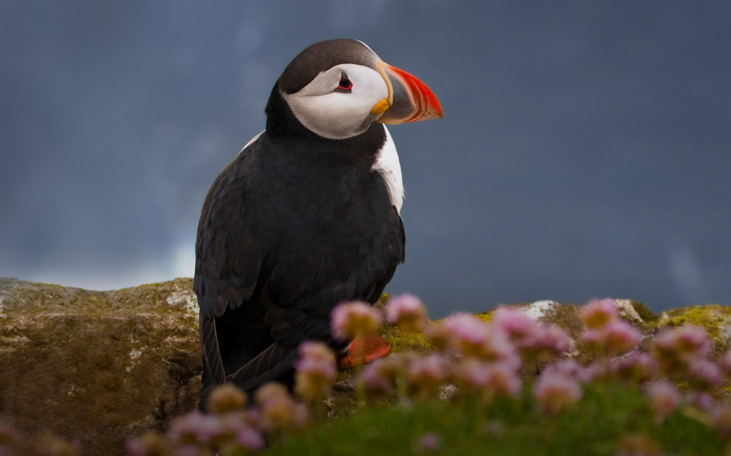 puffin-wallpaper-24797-25469-hd-wallpapers