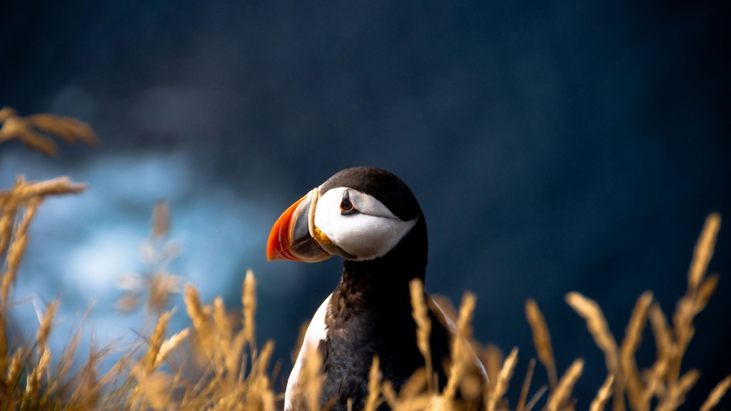puffin-wallpaper-24799-25471-hd-wallpapers