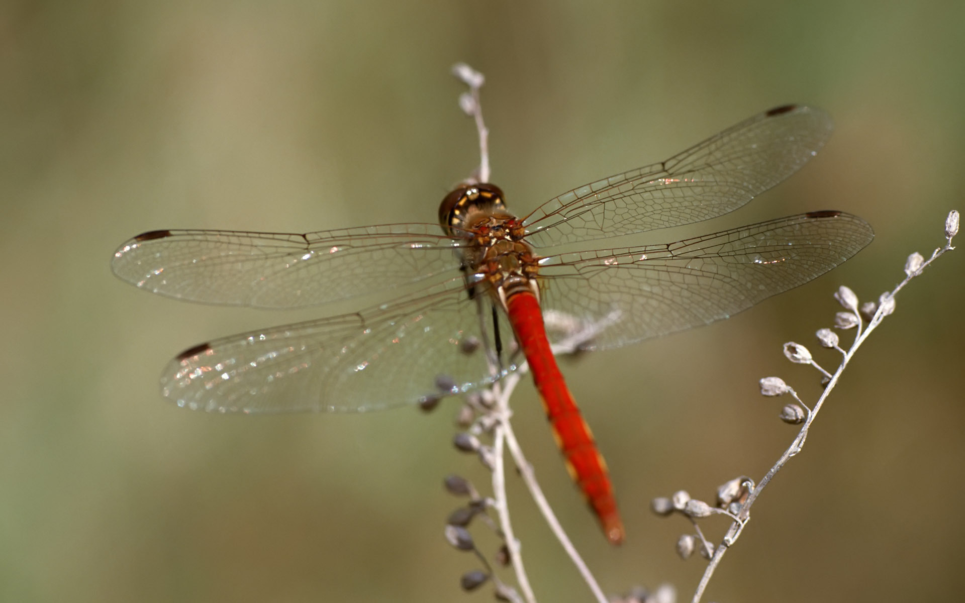32 Fantastic Hd Dragonfly Wallpapers