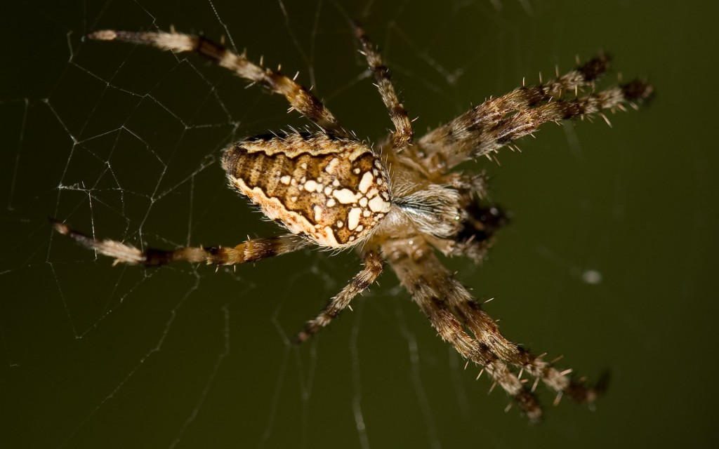 spider-wallpaper-23759-24414-hd-wallpapers