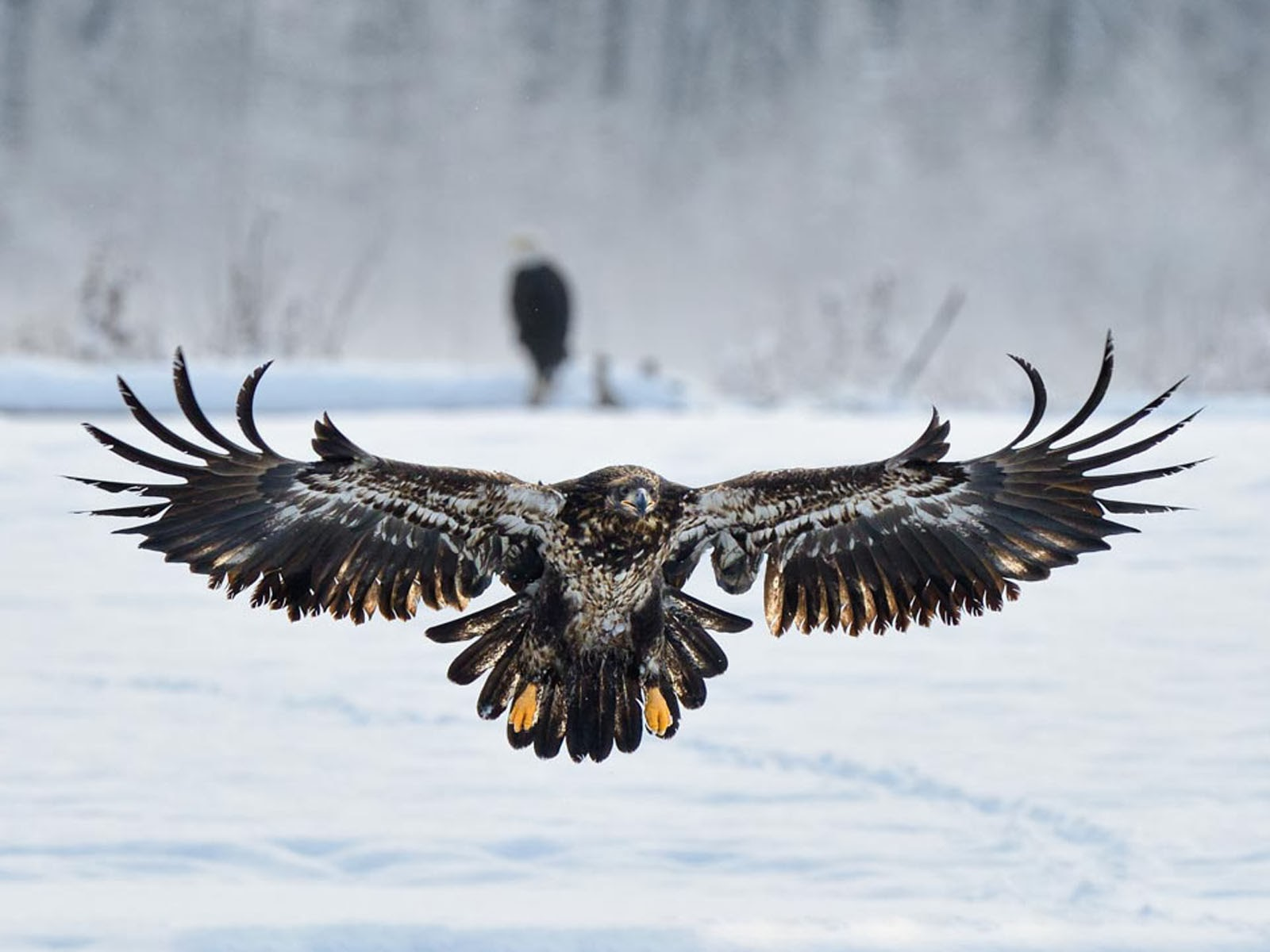 17 HD Eagle Bird Wallpapers