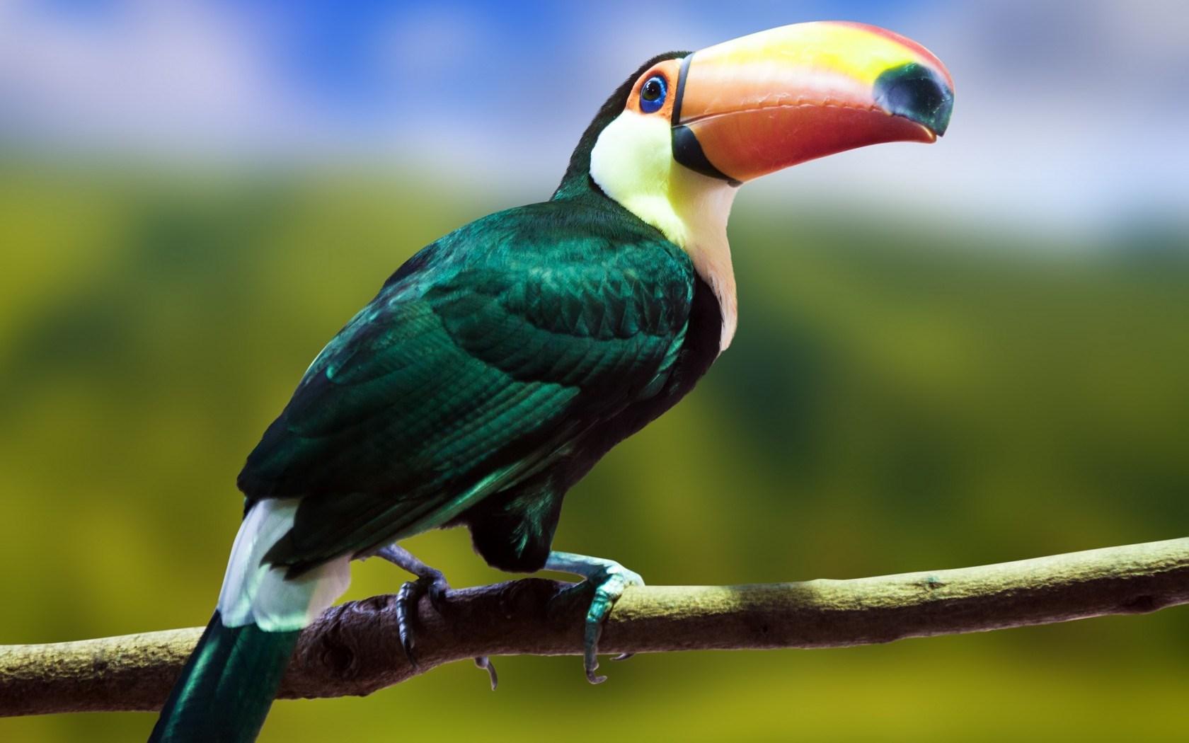 17 hd toucan bird wallpapers. Black Bedroom Furniture Sets. Home Design Ideas