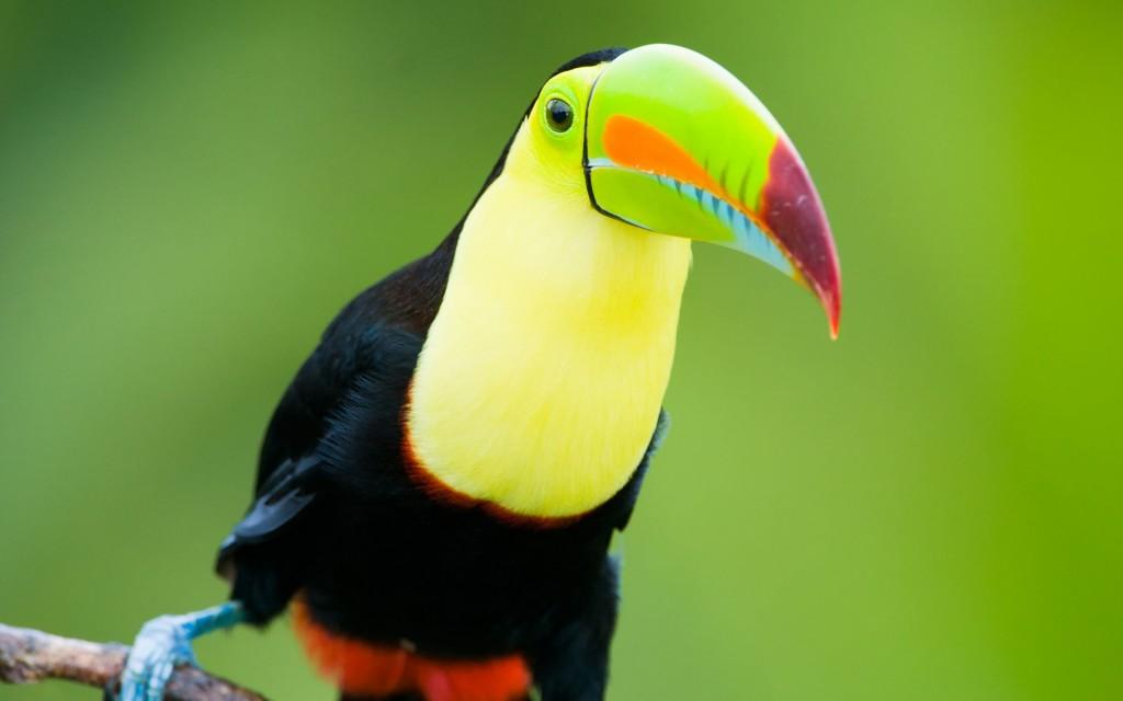 toucan-bird-close-up-wallpaper-46007-47289-hd-wallpapers