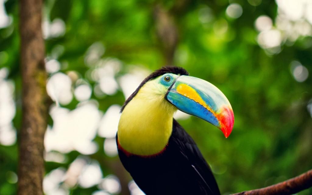 toucan bird wallpapers