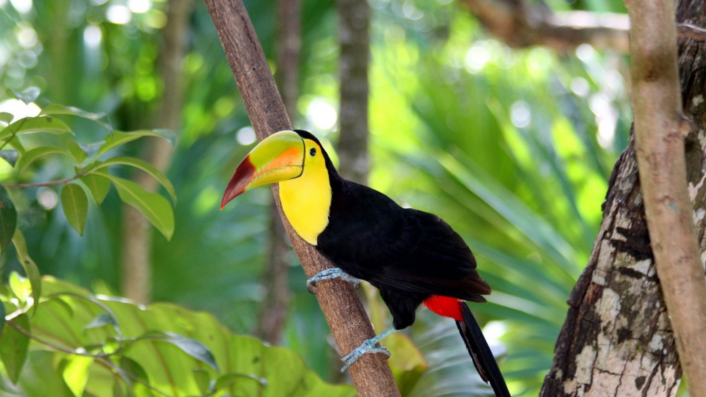 toucan-bird-wide-wallpaper-hd-49700-51379-hd-wallpapers