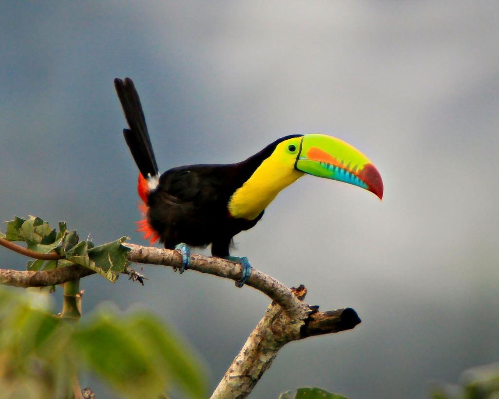 toucan-bird-wide-wallpaper-pictures-49698-51377-hd-wallpapers