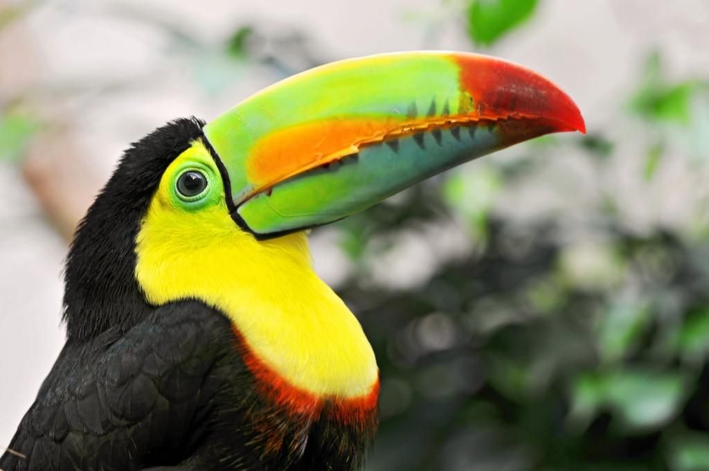 toucan-bird-widescreen-wallpaper-49695-51374-hd-wallpapers