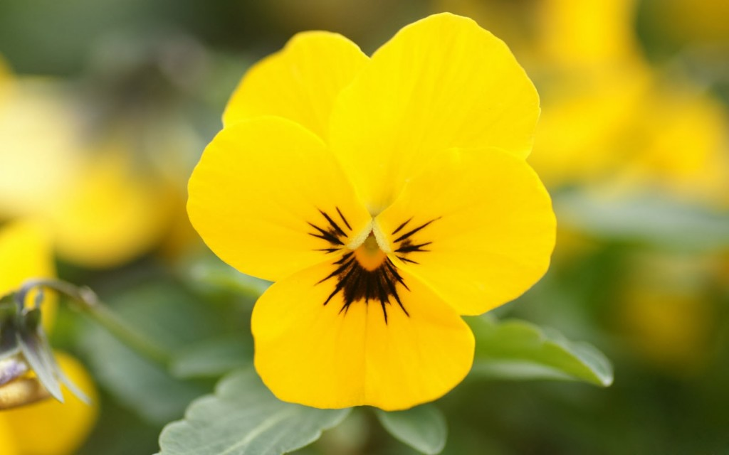 yellow-pansy-flowers-wallpaper-43224-44256-hd-wallpapers