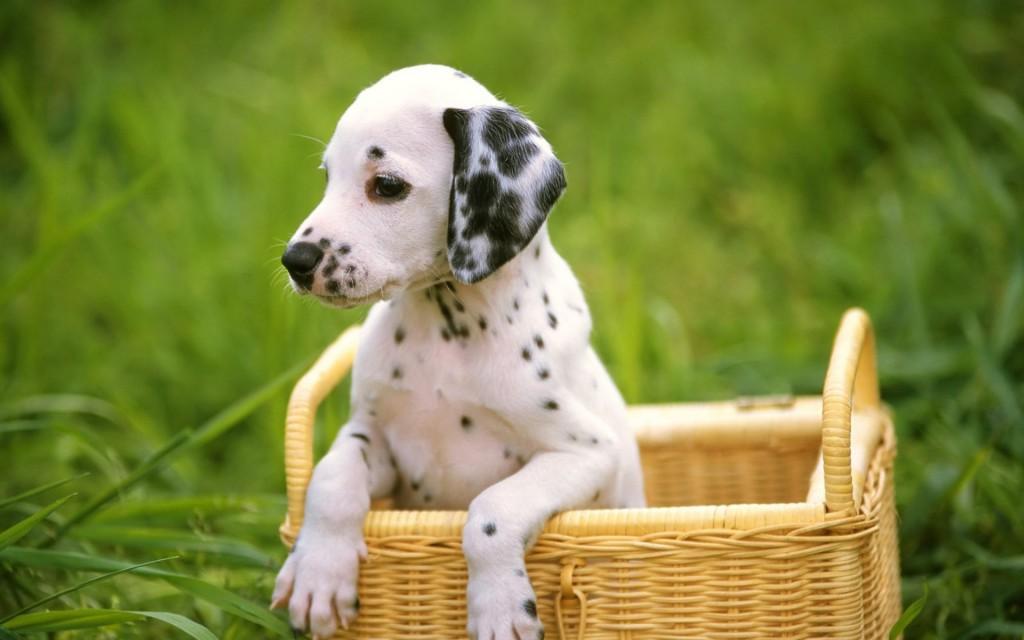 adorable-dalmatian-wallpaper-33062-33818-hd-wallpapers