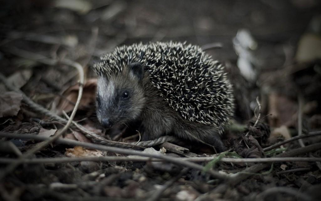 hedgehog wallpapers