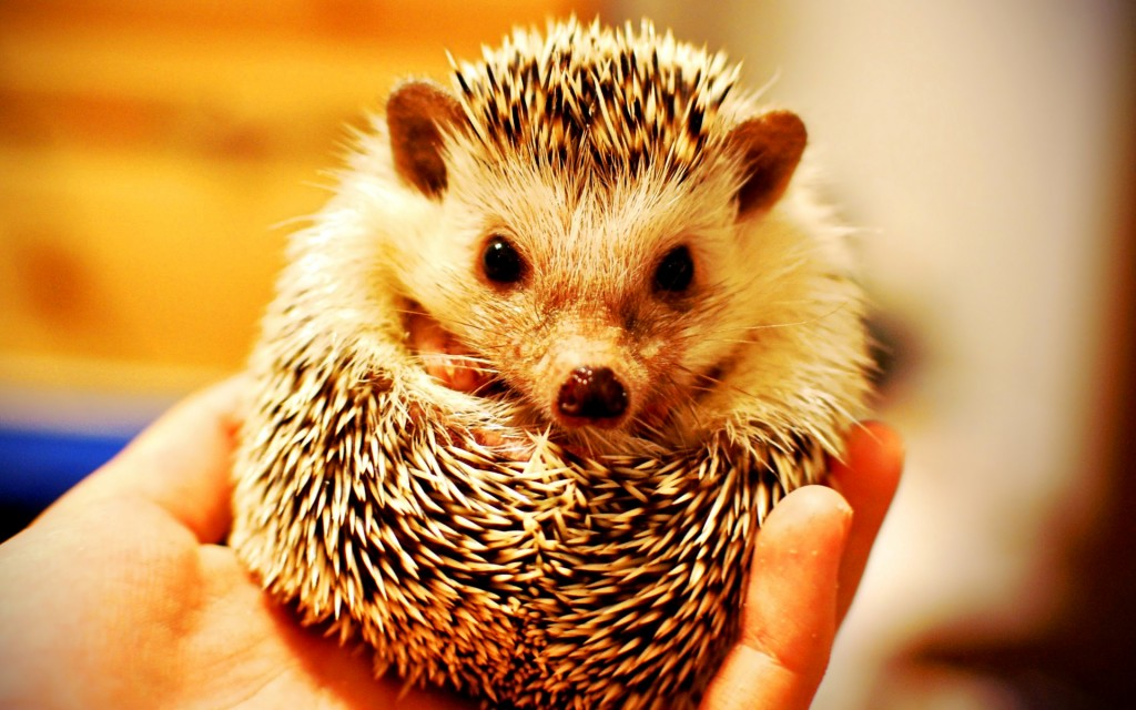 baby-hedgehog-wallpaper-50471-52162-hd-wallpapers